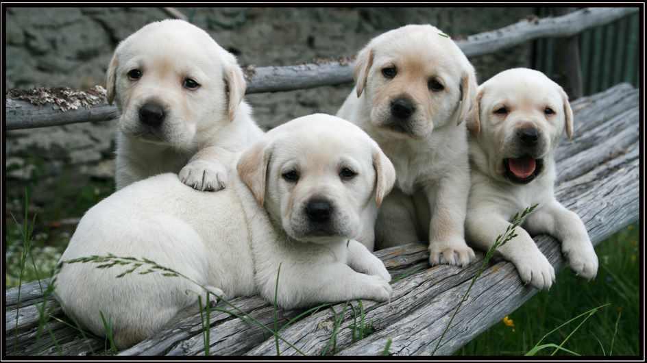 esposizione cani fiera milano