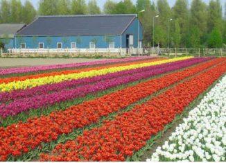 tulipani milano