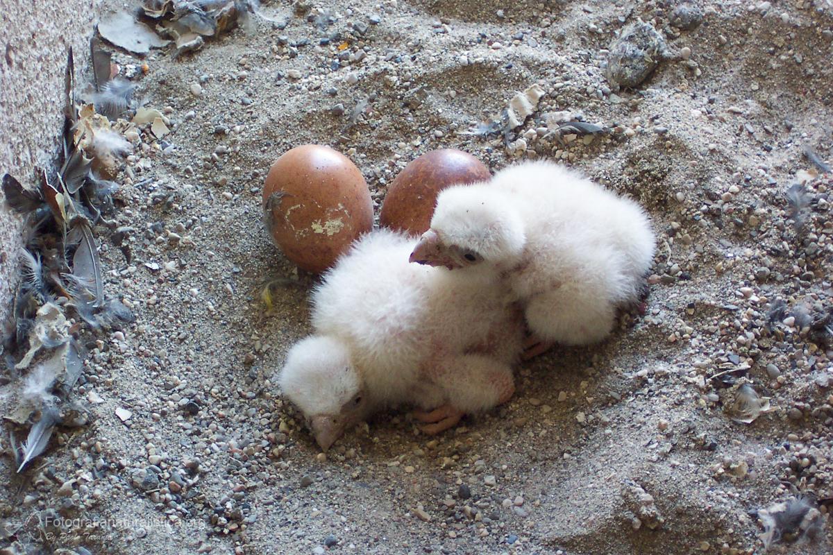 PIRELLONE falco pellegrino coppia