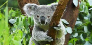 koala rischio estinzione